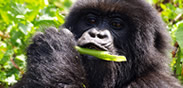 Mountain Gorillas in Bwindi Forest