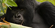 A Gorilla in Bwindi Forest
