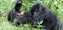 Gorilla Safaris in Bwindi Forest