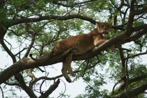 Climbing Lions in Queen Elizabeth Park Uganda