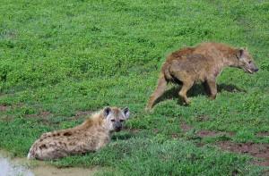 Hyenas - Ngorongoro Crater IMG_5882