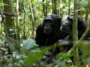 Chimps in Kibaale park