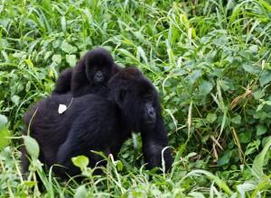Gorilla in Bwindi park