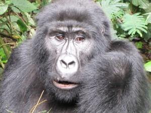 Gorilla Safari 7