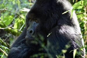 Mgahinga Gorilla 12