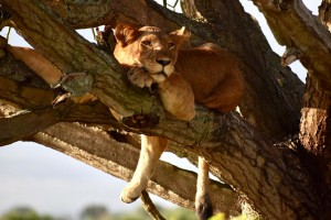 Tree climbing Lions ishasha 6