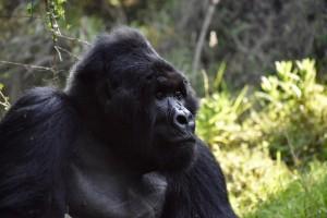 Mgahinga Gorilla 26