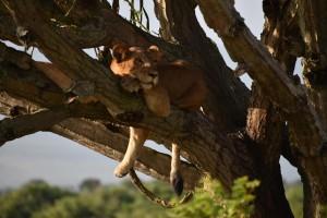 Tree climbing Lions ishasha 3