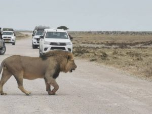 Lion encounter Namibia safari